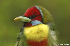 Versicoloured Barbet (Eubucco versicolor) A close-up of the head of one male.