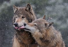 Wolf Photos, Wolf Pictures, Animal Pictures, Beautiful Creatures, Animals Beautiful, Wolf Mates, Animals And Pets, Cute Animals, Wolf World