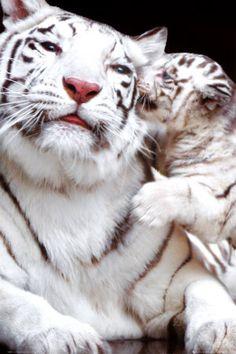 Tigre Photographie sur AllPosters.fr