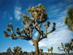joshua tree images | Joshua Tree Journey   cool   looking  right     i  love it    amazing   tree