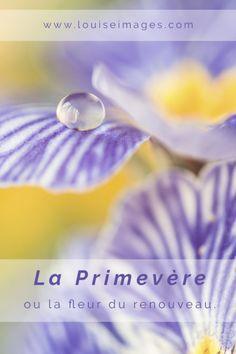La primevère - Louise Images - macrophotographie Fineart flower