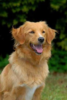 NOVA SCOTIA DUCK TOLLING RETRIEVER - Brit Malajsie