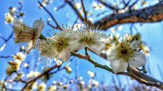 Prunus mume. by love365lsc