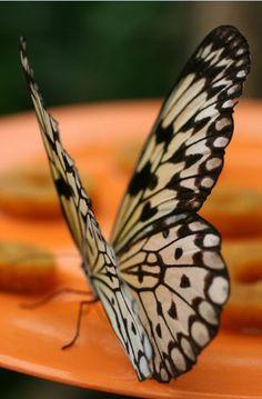 Farfalla  Butterfly