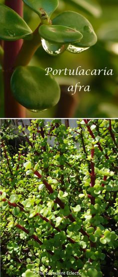 Learn all about growing Portulacaria afra, the elephant bush. It grows up to 15 feet tall and captures carbon better than the rain forest! Jade Succulent, Succulent Soil, Propagating Succulents, Tall Succulents, Planting Succulents, Elephant Food, Carbon Sequestration, Cactus, Jade Plants