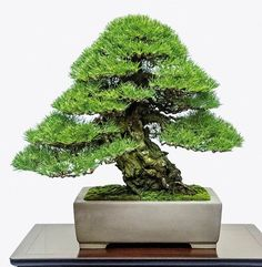 It's a Japanese black pine - 2014 88th Kokufu ten Bonsa Exhibition