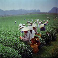 Čajové plantáže. Čaj až k vám domů:-).