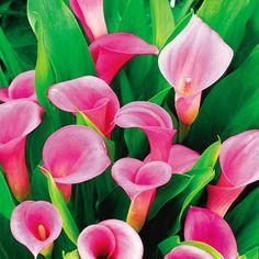 Pink Calla Lily Zantedeschia rehmannii
