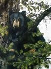 Christine Ford Banff Wildlife and Scenic Artist In The Tree, Black Bear, Wildlife, Ford, Artist, Animals, Animales, American Black Bear, Animaux