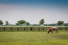 One of the longhorns on Southfork Ranch (where Dallas was filmed), this place is oozing with Texas-ness.