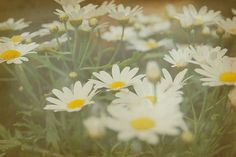 daisies our-story-flower-story