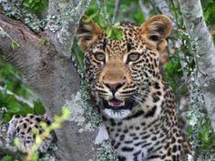Leopardo. The daily beast.