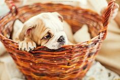 bulldog in a basket. Bulldog Puppies, Cute Puppies, Cute Dogs, Dogs And Puppies, Doggies, Baby Animals, Funny Animals, Cute Animals, Bully Dog
