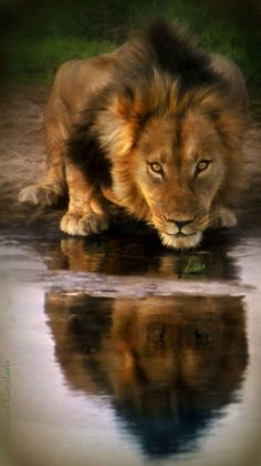 Reflection – Big Cats – Lion – Until the lion learns how to write, every story will glorify the hunter. African Proverb ) ) Reflection – Big Cats – Lion – Until the lion learns how to write, every story will glorify the hunter. Beautiful Cats, Animals Beautiful, Animals And Pets, Cute Animals, Wild Animals, Gato Grande, Lion Of Judah, Animal Paintings, Wildlife Paintings