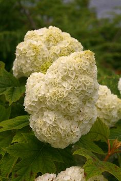 The full and fluffy mophead flowers of Gatsby Moon™ oakleaf hydrangea (Hydrangea quercifolia) raise the bar for these showy natives.