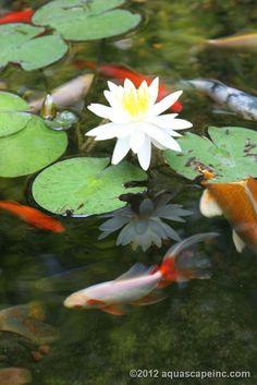 Have my own backyard koi pond.....