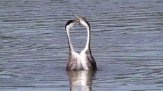 """Courtship rituals of the Western and Clark's Grebe. Filmed at Upper Klamath Lake, Klamath Falls, Oregon ONE OF my favorite """"Wild Kingdom"""" episodes"""