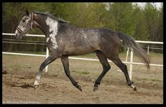 Looks like a reverse blood mark...don't know if there's such a thing.  Otherwise it is  a somatic mutation on this gray horse named Long Pond.