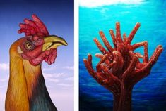 rooster, coral