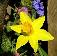 Daffodil~cl    My favorite flower