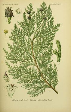 Thuja filiformis Lodd.Oriental Arbor vitae. Mouillefert, P., Traité des arbres et arbrissaux, Atlas, t. 29 (1892-1898)drawing: family:Cupressaceae. Illustration contributed by:New York Botanical Garden, U.S.A.