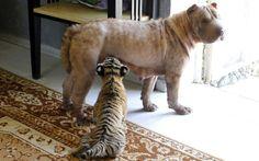 A sharpei Cleópatra adotou dois filhotes do raro tigre siberiano em um zoo particular na costa do Mar Negro