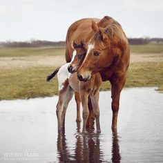 Mare and foal standing in the water, either a huge puddle or edge of pond. Cute little foal! tickled-fancy : Photo