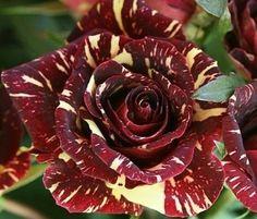 Abracadabra Roseira Planta 200 Sementes de Alta taxa de Germinação de Sementes de Flores VASO de FLORES Bonsai PLANTA Frete Grátis(China (Mainland))
