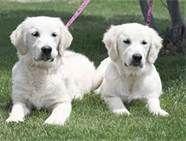 White Golden Retriever - Bing Images