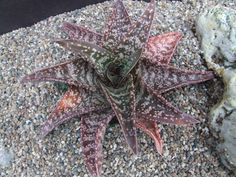 X Gasteraloe G. batesiana X Aloe variegata