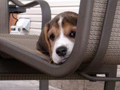Beagle Puppy ~ doggiechecks.com