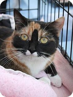 Tessa is an adoptable Dilute Calico Cat in Marietta, OH