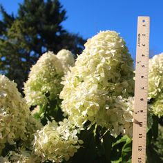 Hydrangea Limelight bloom are best shortly after August 1, pink blush by Sept.