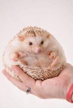 OK so I put on a couple of pounds! #Chubby #Cute #Hedgehogs