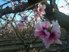 Stone fruit blossoms