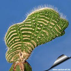 Cleistocactus jujuyensis forma mostruosa cristata