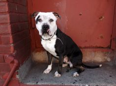 SAFE --- Brooklyn Center   BAXTER - A0997551  *** SAFER: AVERAGE HOME ***   MALE, BLACK / WHITE, PIT BULL MIX, 2 yrs  STRAY - STRAY WAIT, NO HOLD Reason STRAY  Intake condition NONE Intake Date 04/23/2014, From NY 11207, DueOut Date 04/26/2014  https://www.facebook.com/photo.php?fbid=792821754064039&set=a.792353347444213.1073743116.152876678058553&type=3&theater