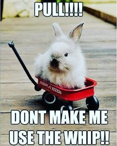 Bahahahahahaha! #rabbit #bunnies #bunny #bunnies #rabbits #cuteanimal #cuteanimals #pet #pets