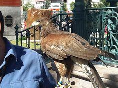 Recurre Municipio a halcones para ahuyentar a las palomas de la Plaza de Armas | El Puntero