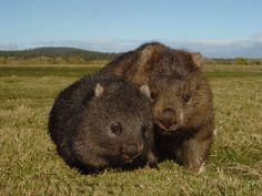 Wombats Photo credit to Tasmania Photo s Cute Wombat, Baby Wombat, Unusual Animals, Animals Beautiful, Strange Animals, Baby Animals, Cute Animals, Australia Animals, Quokka