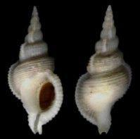 Shell Catalogue - Family MURICIDAE