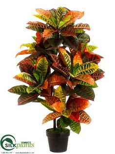Croton Plant - Green Pink - Pack of 2