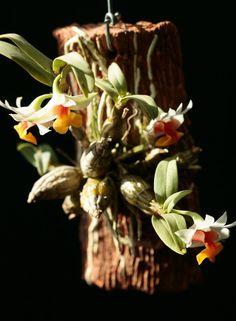Dendrobium bellatulum Дендробиум очаровательный