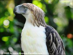 Philippine Eagle Pithecophaga jefferyi - Google Search
