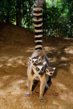 Ring-tailed lemur with two babies, Lemur catta, Madagascar ~by Frans Lanting