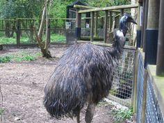 An emu in Leicestershire - my sister got bitten by one of these..