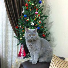 kediler kralı