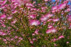 Caliandra do Cerrado , Cerrado brasileiro,  fauna e flora do Cerrado. Vegetação do Cerrado, animais do Cerrado,  flores do Cerrado
