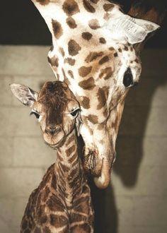 Awwwww...Mama and baby giraffe