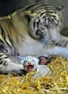 TIGER AND BABY